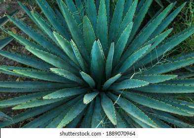 Agave or Maguey plant. Mexican plant used to make tequila and mezcal.