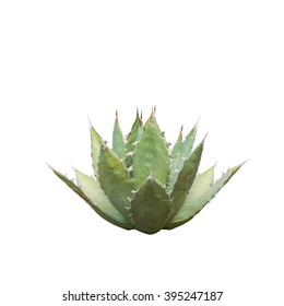 Agave, Mexico, Queen Victoria's Agave Plant, Agave titanota isolated on white background.