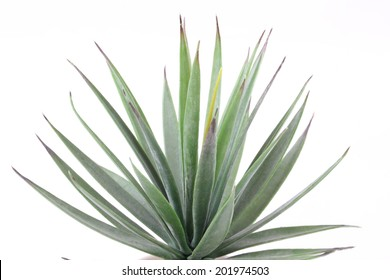 Agave on white background