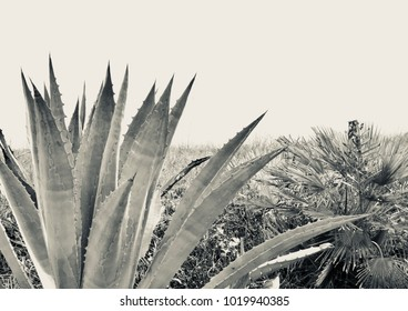 Agave Plant in Black and White