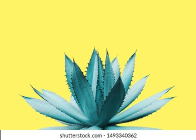 Agave Plant in Blue Tone Color on Yellow Background Colorful Design Image