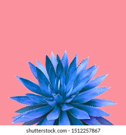 Agave Plant in Blue Tone Color on Pink Background Colorful Design Image