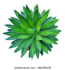Agave plant green flower logo colorful top view isolated on white background. This has clipping path.