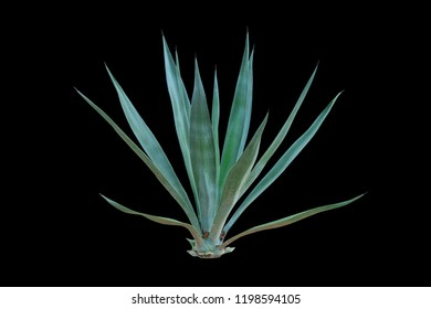 Agave plant isolated on black background. clipping path. Agave plant tropical drought tolerance has sharp thorns.