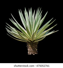 Agave plant isolated on black backgroumd. clipping path. Agave plant tropical drought tolerance has sharp thorns.