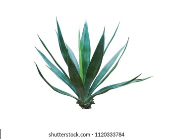 Agave plant isolated on white background.,This has clipping path.