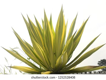 Agave plant with yellow and green leaves and sharp spikes