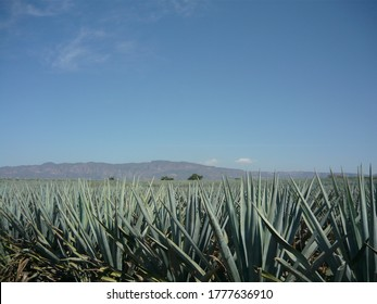 Agave plantation with a mountain in the background