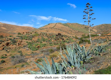 Agave plants and view of mountains near Betancuria village in countryside landscape, Fuerteventura, Canary Islands, Spain