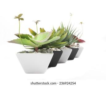 Agave in pot