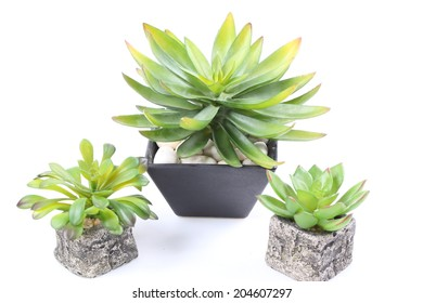 Agave in pot on white background
