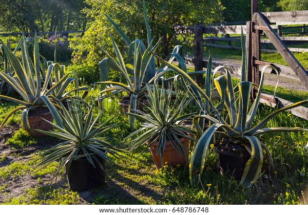 Agave Pots Outside Fence Nature Objects Stock Image