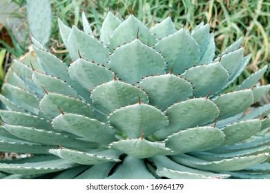 agave sausage