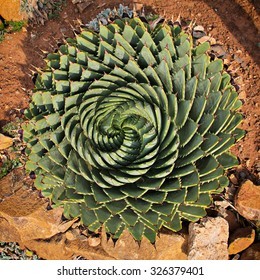 An agave seen from above.
