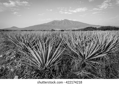 Agave tequila landscape to Guadalajara, Jalisco, Mexico. Black and white