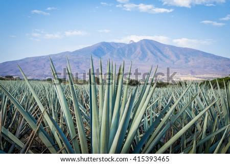 Agave Tequila Landscape Guadalajara Jalisco Mexico Stockfoto Jetzt