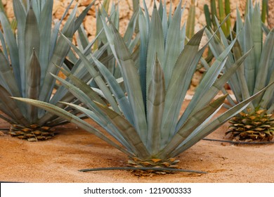 Agave tequilana, commonly called blue agave (agave azul) or tequila agave growing in Egypt
