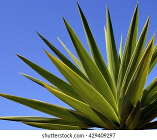 Agave tequilana plant to distill mexican tequila liquor against blue sky.Nature background.