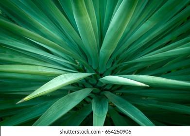 Agave Verde