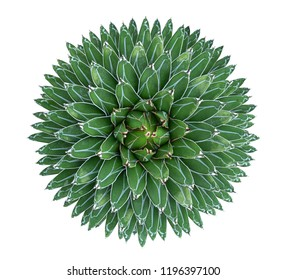 Agave victoriae-reginae (Queen Victoria agave) succulent cactus flower perennial plant top view isolated on white background, clipping path included