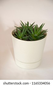 agave in a white pot