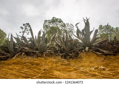 Agaves on the edge of a wall of grooved sandstone