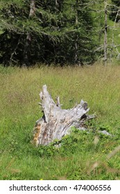 Age rootstock in the meadow