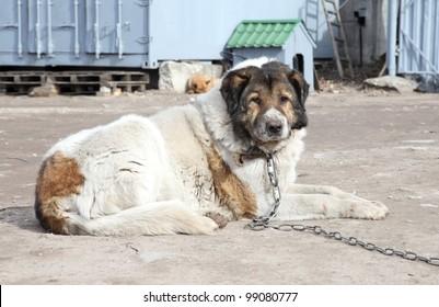 Aged Caucasian Shepherd watchdog. Outdoor shoot