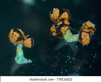 Aged fruit bodies of a slime mold, or myxomycete, Physarum polycephalum, has released the spores out. Slime moulds are special organisms that gather from many microscopic unicellular amoebae