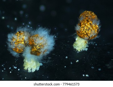 Aged fruit bodies of a slime mold, or myxomycete, Physarum polycephalum, has been eaten by fungal mold. Slime moulds are special organisms that gather from many microscopic unicellular amoebae