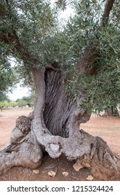 Aged gnarled olive trees in an ancient olive grove near Alberobello in Puglia, South Italy.