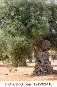 Aged gnarled olive trees in an olive grove near Alberobello in Puglia, South Italy.