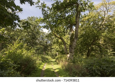 Aged oak tree in the Tiergarten forest near Boitzenburg, Germany