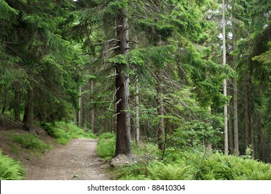 Aged tree and path in the forest
