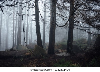 Age-old spruce trees stand in the fog