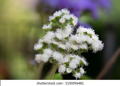 Ageratum houstonianum flower in the garden