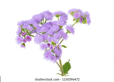 Ageratum houstonianum flower isolated on white background