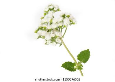Ageratum houstonianum flower isolated on white background
