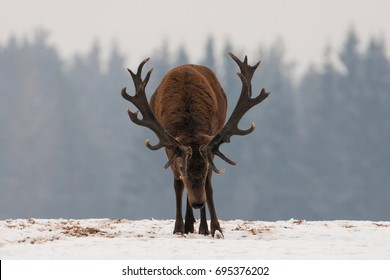 Aggressive Adult Stag. Head Down Adult Powerful Red Deer With Trophy Horns Goes Directly To You. Attacking Deer Stag Closeup. Dominant  Deer Stag At Winter Forest Background. Mature Horned Deer.