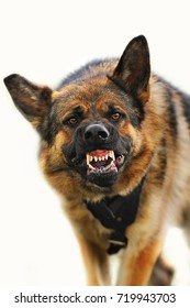 Aggressive, angry dog on white background