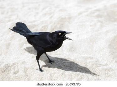 Aggressive bird on beach