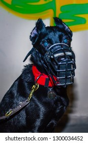 aggressive black mixed breed dog with cropped ears on graffiti wall inside in muzzle