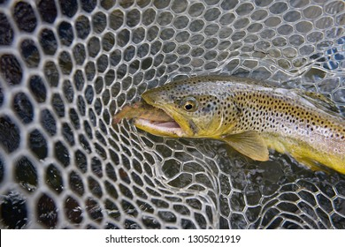 An aggressive brown trout resting in a net and has a small fish hanging from his mouth.