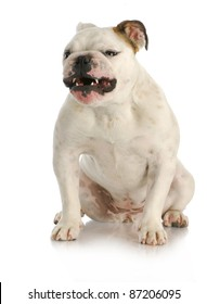 aggressive dog - english bulldog with growling agressive expression on white background