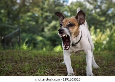 Aggressive dog, fox terrier barks