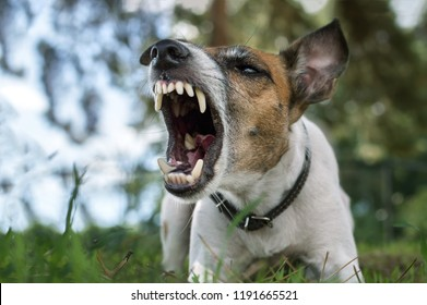 Aggressive dog, fox terrier with a grin, barks