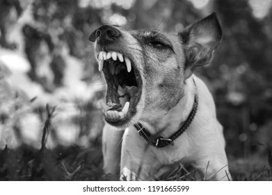 Aggressive dog, fox terrier with a grin, barks, black and white photo