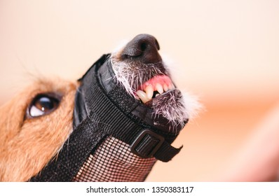 Aggressive dog in muzzle shows fangs and teeth looking up