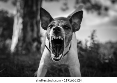 Aggressive dog on the hunt, fox terrier, danger, grinning teeth, black and white photo