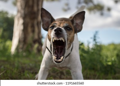 Aggressive dog on the hunt, fox terrier, danger, bared teeth